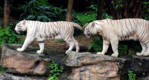 Tigers[4]