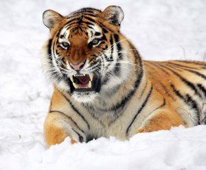 tiger-585855